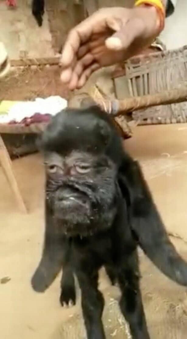 В Индии родилась коза с человеческим лицом: жуткие фото молниеносно облетели Интернет