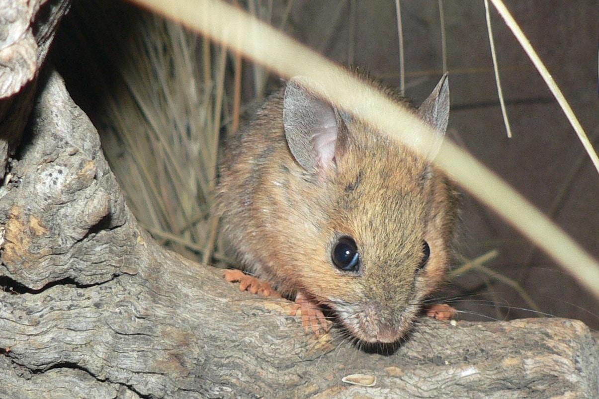 полевая мышь фото