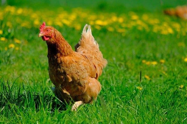 Курица картинка