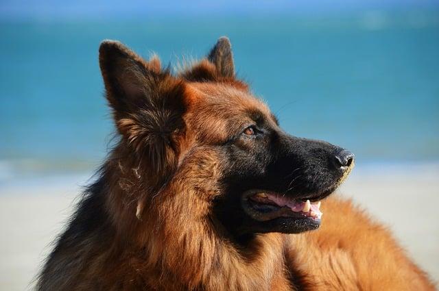 Собака овчарка фото