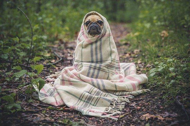 Собака на тропинке в пледе картинка