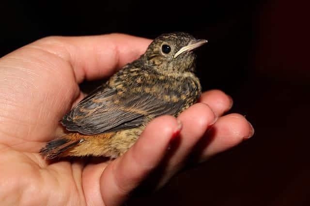 птица соловей фото