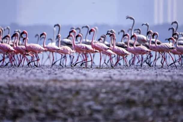 миграция фламинго израиль фото