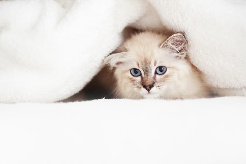 Canva Siberian Kitten 1