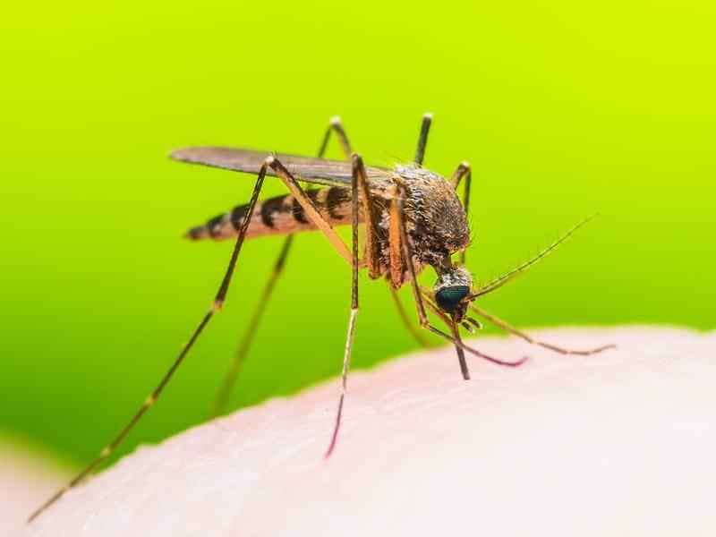 малярия комар фото