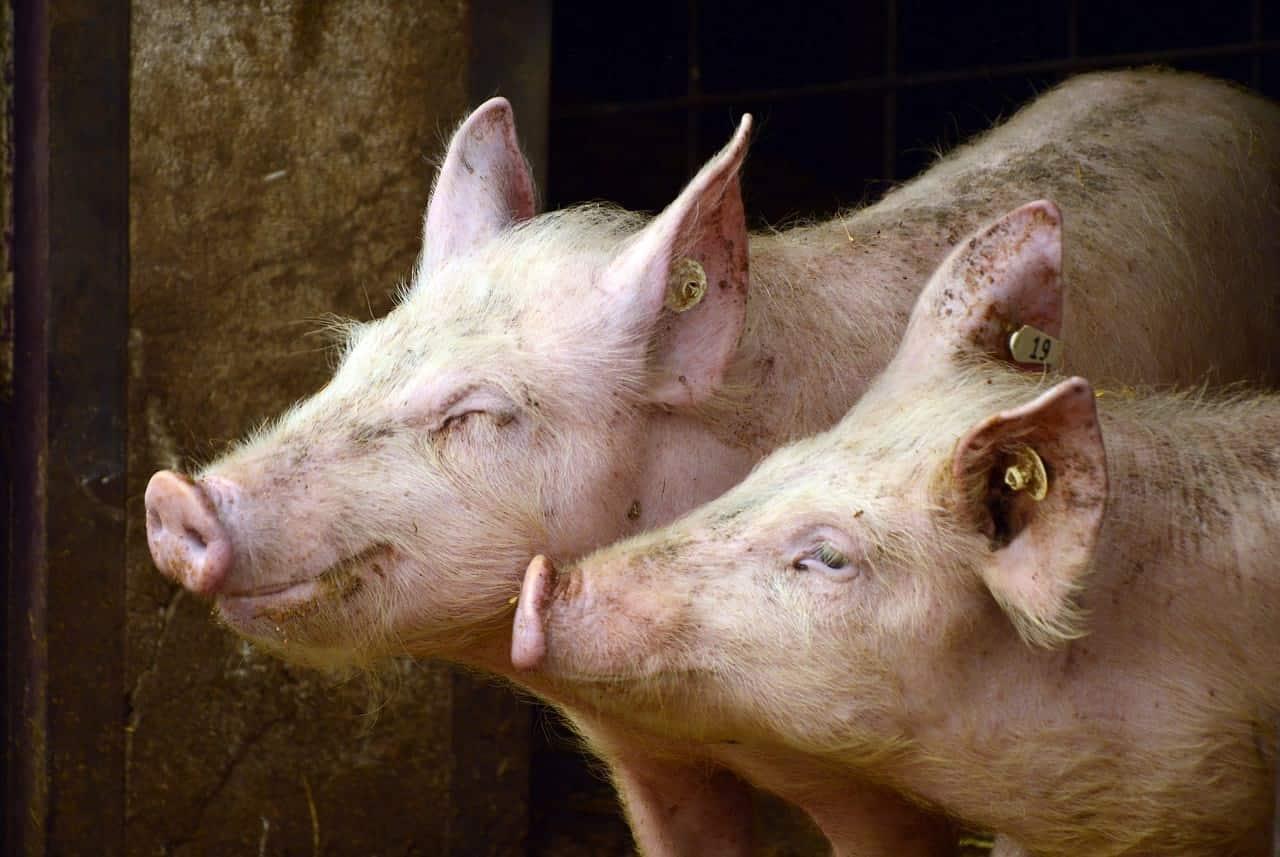 Свиньи вирус фото