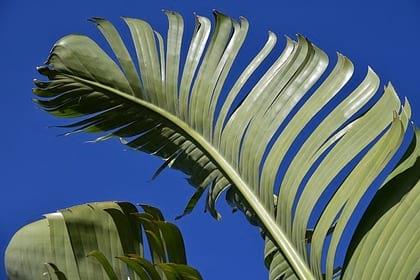 Bananovye listya