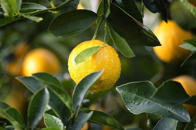 лимон на ветке фото