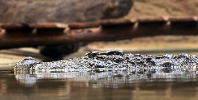 Аллигатор фото