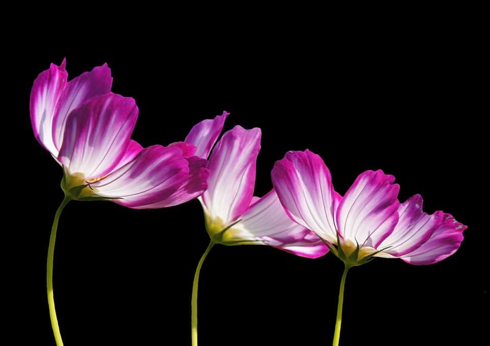 Цветы на черном фон фото