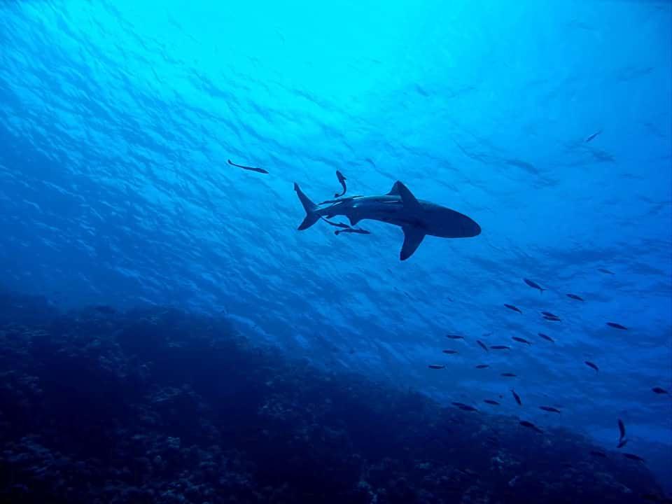 Израильтяне стремятся в Хадеру, чтобы поплавать с акулами (ВИДЕО)
