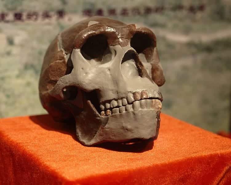 реконструкция черепа Homo erectus фото