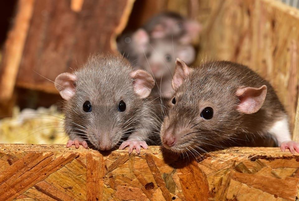 крысы грызуны фото