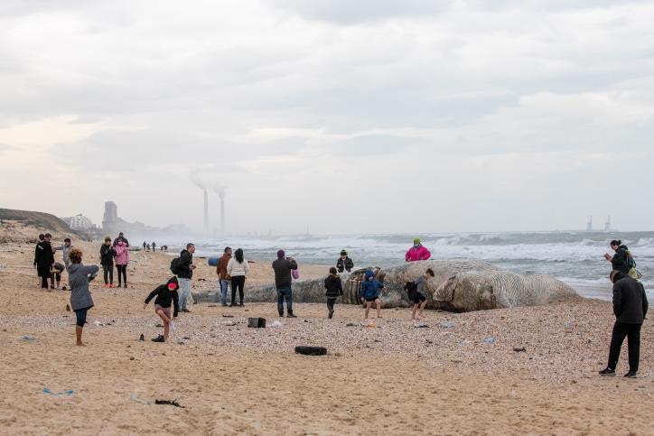 мертвый кит на берегу Израиля фото