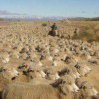 Отара овец фото