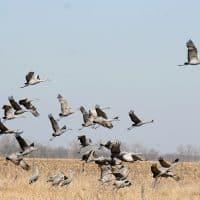 Журавли птицы фото