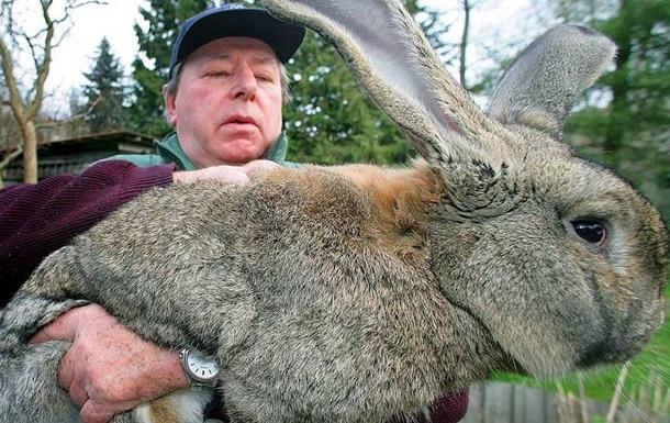 Самый большой кролик в мире по имени Дариус фото