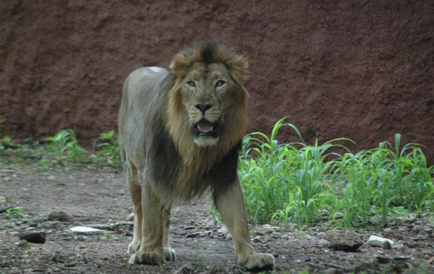 Лев в зоопарке Индии фото