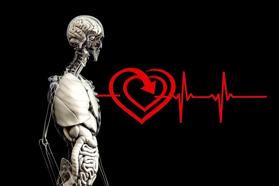 Сердце орган анатомия изображение