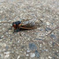 Цикада насекомые фото