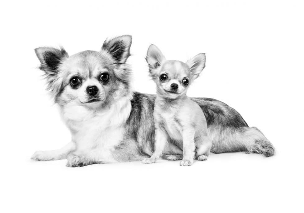 собаки чау-чау фото