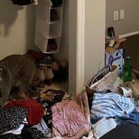 Еноты устроили погром в квартире жительницы США фото