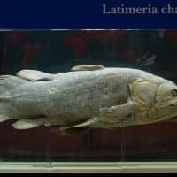 Латимерия рыба фото