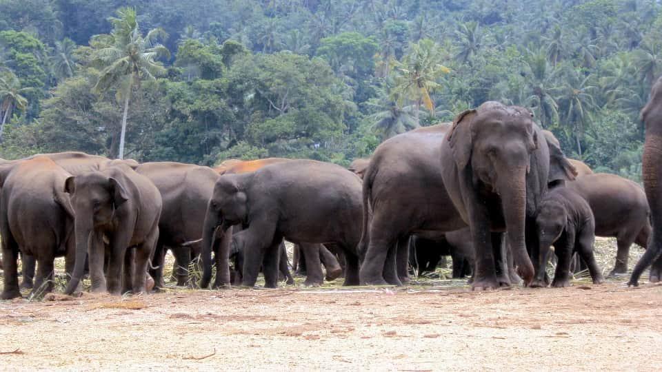 Стадо слонов фото