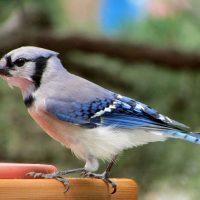 Голубая сойка фото