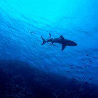 Акула рыбы фото