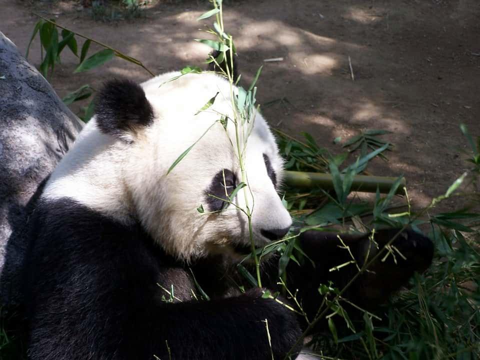 Гигантская панда фото