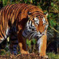 Тигр зоопарк животное фото