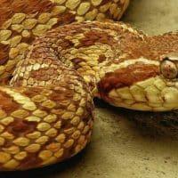 Ядовитая змея жараракусу фото