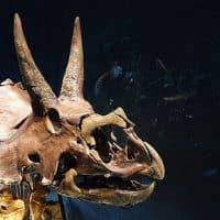 Трицератопс скелет фото