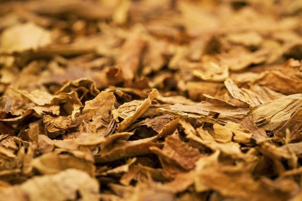 Листья табака фото